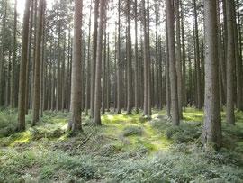 Sommerlicher Fichtenhochwald westlich von Scherstetten