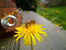 Der Löwenzahn wird aufgrund seines reichlich vorkommenden Nektar- und Pollenangebotes gerne von den Bienen angeflogen