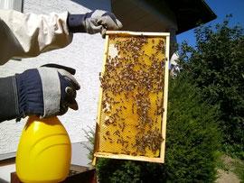 Milchsäurebehandlung an bienenbesetzter Wabe