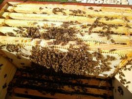Volle Futterwaben sollten in der oberen Zarge mittig platziert werden um den Bienen bei kaltem Wetter lange Wege zur Nahrungsaufnahme zu ersparen