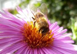 Die Rauhblattaster ist im Spätsommer ein begehrter Nektar- und Pollenlieferant