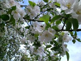 Zu den wichtigsten Trachtpflanzen im Frühjahr gehören die Apfelbäume
