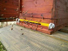 Die zurückkehrenden Flugbienen des Altvolkes dürfen aufgrund ihres vollen Honigmagens meist ohne Probleme den Eingang des Ablegers passieren