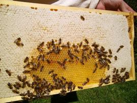 Die reservierten Honigwaben des Vorjahres werden Anfang April an die Ränder der oberen Brutzarge gehängt, um den Futtervorrat des Volkes zu erhöhen