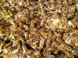 Bei staatenbildenden Insekten kann der Ausbruch von Krankheiten verheerende Folgen haben