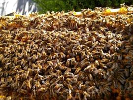 Die Bienenmasse der entnommenen Drohnenwabe wird zur Verstärkung des neuen Ablegers verwendet