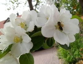 Zur sicheren Versorgung der Brut werden im Bienenvolk pro Jahr bis zu 40 kg Pollen benötigt