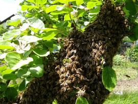 Eine Schwarmtraube hat sich auf einem Zweig niedergelassen. Gelingt es nicht den Schwarm baldmöglichst einzufangen, so geht für den Imker/in nicht nur das Volk sondern auch der mögliche Honigertrag verloren.