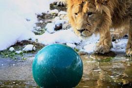 Soccer Lion