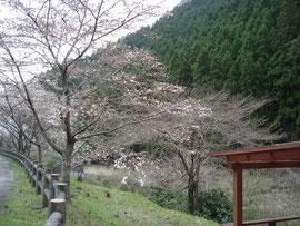 オートキャンプ場下の桜