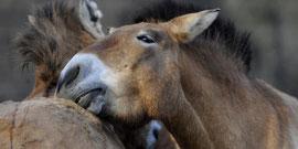 les cousins asiatiques de l'âne