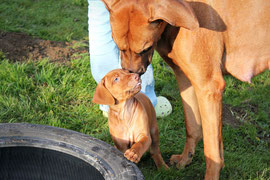 copyright by Rhodesian Ridgeback Kennel Sabayuma