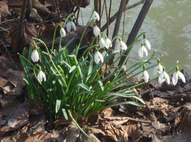 Schneeglöckchen im Englischen Garten am Eisbach Foto Heidrun Langer