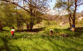 Narcisses dans les champs du bas
