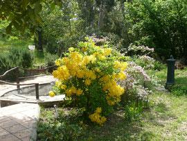 ----------- Azalées mollis en fleur