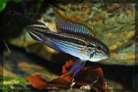 A. agassizii Tefè blau Männchen