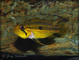 A. agassizii Tefè Weibchen