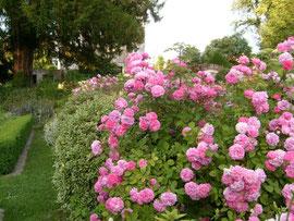 Jardin  roses Amiens somme picardie