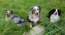 Nahla, Abby, and Murphy, our miniature Australian Shephards.