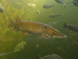 Hecht, Esox lucius