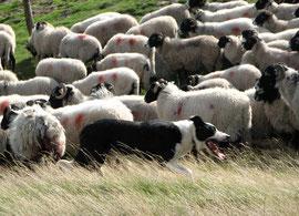 Herbst in Yorkshire - Hunde treiben die halbwilden Schafe aus den Bergen
