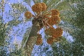 Palmiers dattiers Fint