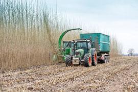 Alle 3-5 Jahre werden Kurzumtriebsplantagen KUP im Winter geerntet.