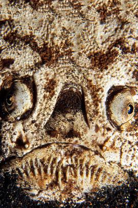 Uranoscopus sulphureus