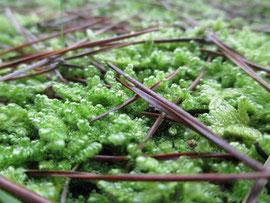 松林下の絨毯