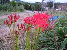 路傍に咲くヒガンバナ