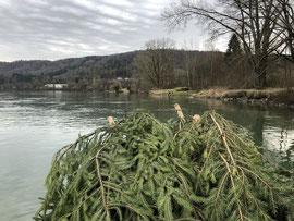 Laichbaum versenken Februar 2020. (Foto PC)