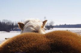 fesse de jument haflinger en hivers a l'écurie kalin