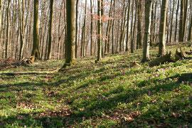 Hohler Lerchensporn im April am Schöneberg