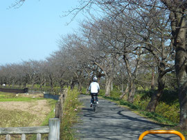 Bike Road for 3 km Long Row of Cherry Trees