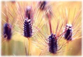 成熟期に色づいたダイシモチの穂