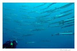 bécunes bouche jaune,  barracudas et plongeur, tombant est gabiniere, carte postale sous marine