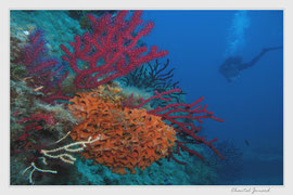 gorgones rouge, couleur mediterranée