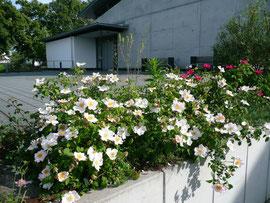 Die heilige Rose (Rosa sancta) ist eine der ältesten Kulturrosen.