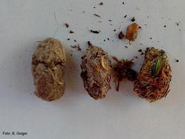 Steinkauzgewölle, li und Mitte sind Gewölle von 2012, rechts von 2013. Im rechten Gewölle sind deutlich die Käferreste und die faserige Struktur zu sehen, im mittigen Gewölle erkennt man ein Mäusezähnchen.