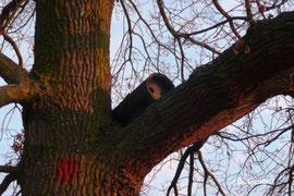 Niströhre in einem Nussbaum in Oppenheim