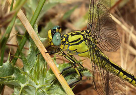 Ein Weibchen der Gelben Keiljungfer, Gomphus simillimus.
