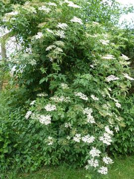 Holunderblüten für Hugo-Marmelade