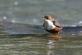 Die Wasseramsel – «Wappenvogel» von Vogelschutz Chur (Erich Lüscher)