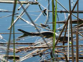 Stattliche Ringelnatter auf Beutezug am Langen See