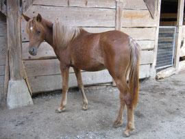 Amaya, Araber-Stute, geb. 15.6.2008