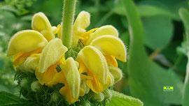 Nahaufnahme einer Gelben Taubnessel / Echten Goldnessel / Gold-Taubnessel mit ihren gelben Blütenständen. Bild K.D. Michaelis