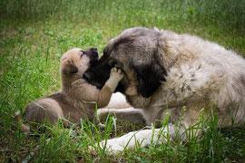 un chien mastif femelle et son chiot sur l'herbe par coach canin 16 dressage chien charente