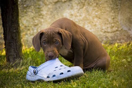 Un chien braque marron assis dans l'herbe tient une chaussure violette dans la gueule par coach canin 16 éducateur canin en charente