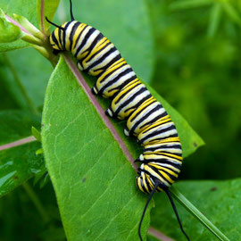 The caterpillar of a Monarch butterfly, feeding on the leaf of a Common Milkweed plant.
