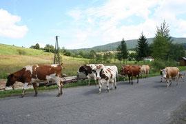 Krowy na drodze w Bartnem